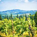 Grapevine In San Gimignano Tuscany by Silvia Ganora