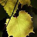 Grapevine In The Back Lighting by Michal Boubin