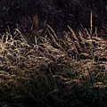 Grass At Sunset by Kristen Pearce