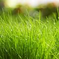 Grass by Dorothy Binder