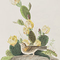 Grass Finch Or Bay Winged Bunting by John James Audubon