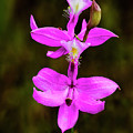 Grass Pink Orchid by Jerry Lohman