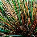 Grass Tussock by Colin Drysdale