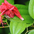 Grasshopper And Hibiscus by Jessica Rose