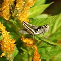 Grasshopper by Ben Upham III