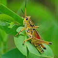 Grasshopper by Jorge Cruz