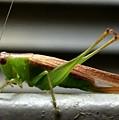Grasshopper Posing by Kathy Kirkland