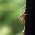 Grasshoppers by Katherine Huck Fernie Howard