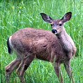 Grassy Doe by Randall Ingalls