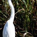 Grassy Egret by Mary Haber