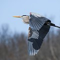 Great Blue Heron In Flight by Susan Grube