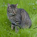 Gray Cat In Vivid Green Grass by John Harmon