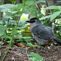 Gray Catbird by Debra Straub