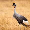 Gray Crowned Crane by Adam Romanowicz
