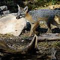 Gray Fox by Debra Martz