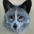 Gray Fox Head Study by Erin Schwartzkopf