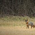 Gray Fox In Lower Pasture by Matt Taylor