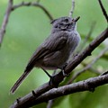 Gray Grey Bird 052814a by Edward Dobosh