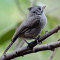 Gray Grey Bird 052814aa by Edward Dobosh