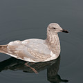 Gray Gull Reflection by John Daly