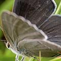 Gray Hairstreak Butterfly by Brian Hale