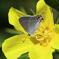 Gray Hairstreak Butterfly by Robert Potts