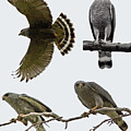 Gray Hawk Collage by Stephanie Salter