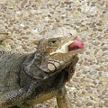Gray Iguana Eating Lettuce With His Pink Tongue Sticking Out by DejaVu Designs
