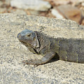 Gray Iguana Sunning And Resting On A Large Rock by DejaVu Designs