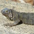 Gray Iguana With Long Talons Sitting On A Rock by DejaVu Designs