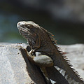 Gray Iguana With Spines Along His Back On A Rock by DejaVu Designs