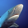 Gray Reef Shark by Dave Fleetham - Printscapes