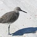 Gray Sandpiper On White Beach by Carol Groenen