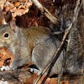 Gray Squirrel by Joshua Bales