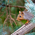 Gray Squirrel Pictures 93 by World Wildlife Photography