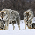Gray Wolves Norway by Jasper Doest