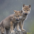 Gray Wolf Canis Lupus Pups In Light by Tim Fitzharris