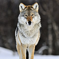 Gray Wolf In The Snow by Jasper Doest