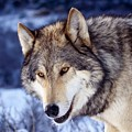 Gray Wolf by Dorothy Binder
