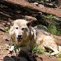 Gray Wolf In The Summertime by Steve Krull