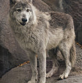 Gray Wolf On A Rock by Joan Wallner
