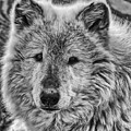 Gray Wolf Portrait by Yair  Leibovich