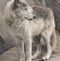 Gray Wolf Profile by Joan Wallner