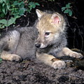 Gray Wolf Pup With Prey by Larry Allan