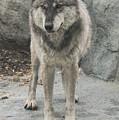 Gray Wolf Stare by Joan Wallner