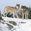 Gray Wolves Canis Lupus In A Forest by Panoramic Images