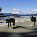 Gray Wolves On Beach by Joel Sartore