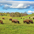 Grazing Buffalo by Mimi Ditchie