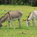 Grazing Donkeys by Robert Hamm