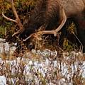 Grazing Elk 1 - Estes Park by Angie Tirado